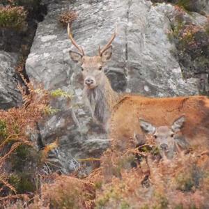 13 deer in bracken low res