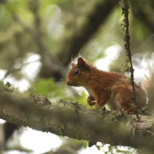 14 Wildlife Red Squirrel 01 G Lees copy